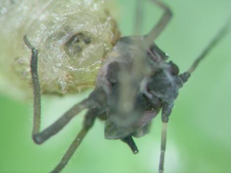ヒラタアブの幼虫の顔.jpg