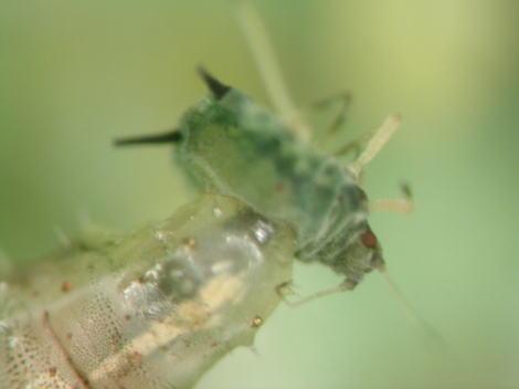 アブラムシを捕食するヒラタアブの幼虫2.jpg