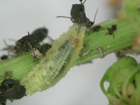 ヒラタアブの幼虫1.jpg