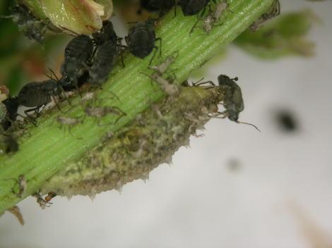 ヒラタアブの幼虫3.jpg