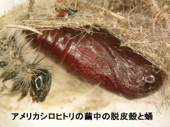 アメシロの脱皮殻と蛹.jpg