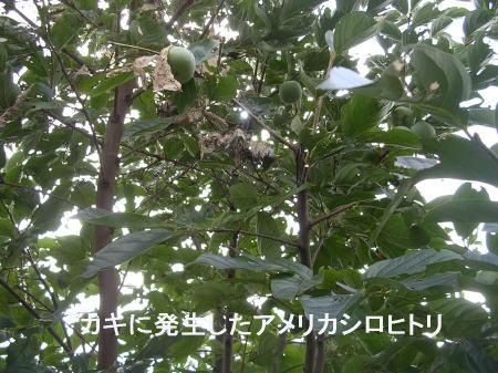 柿の木に発生したアメリカシロヒトリ.jpg