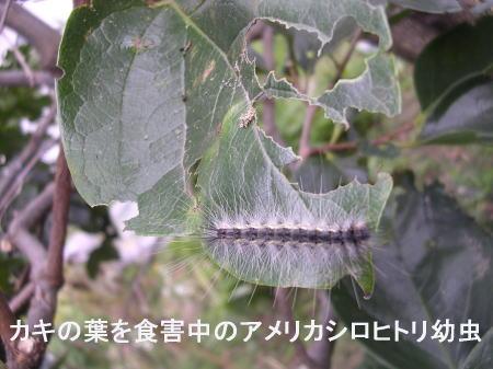 柿の葉を食べるアメリカシロヒトリ.jpg