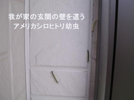 壁を這うアメシロ幼虫.jpg